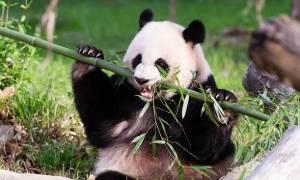 Η... διπλωματία των panda: «Βαφτίσια» με νονά τη Μισέλ