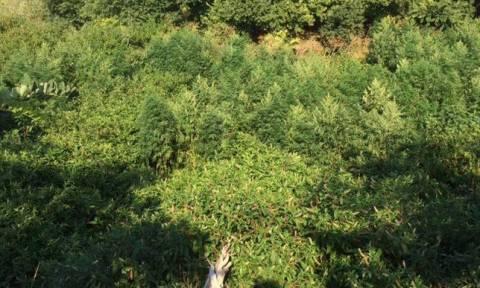 Ксанти: лес конопли вырастил 40-летний местный житель