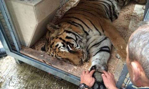 Πέθανε ο τίγρης που είχε μεταφερθεί σε καταφύγιο στην Καλιφόρνια από τον Ζωολογικό Κήπο Τρικάλων