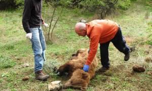 Κοζάνη: Διάσωση αρκούδας που είχε παγιδευτεί σε παράνομη θηλιά (pic)