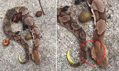 Ο λόγος που αυτό το νεκρό φίδι κουνιέται είναι πιο τρομακτικός και από το ίδιο! (video)