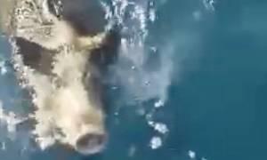 Πήγαν για ψάρεμα και έπιασαν... αγριογούρουνο! (video)