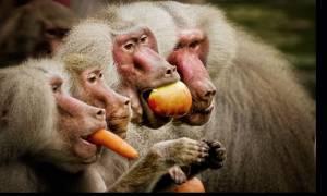 Ζιμπάμπουε: Μπαμπουίνοι δείπνησαν με… οπτικές ίνες ραδιοφωνικού σταθμού