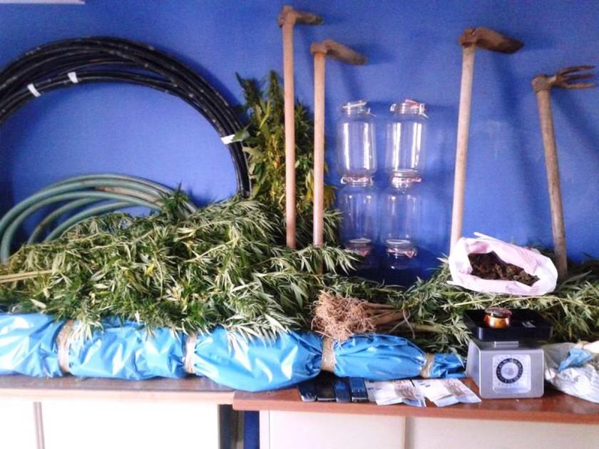 Εύβοια: Εντοπίστηκε φυτεία χασίς σε ελαιώνα – Συνελήφθησαν οι καλλιεργητές (pics)