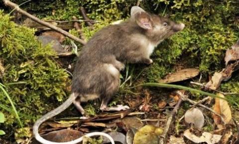 Ανακαλύφθηκε νέο είδος ποντικού με μύτη γουρουνιού (pics)