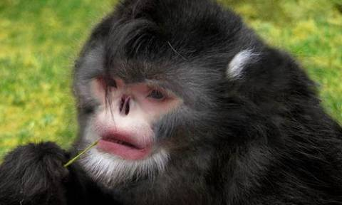 WWF: Η μαϊμού που φτερνίζεται και το ψάρι που κάνει περιπάτους κινδυνεύουν