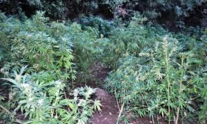 Φθιώτιδα: Εντοπίστηκε και καταστράφηκε μεγάλη φυτεία με 1.000 δενδρύλλια