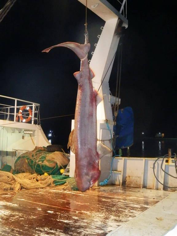 Απίστευτη ψαριά στην Εύβοια - Έπιασαν καρχαρία 5,5 μέτρων (pics)