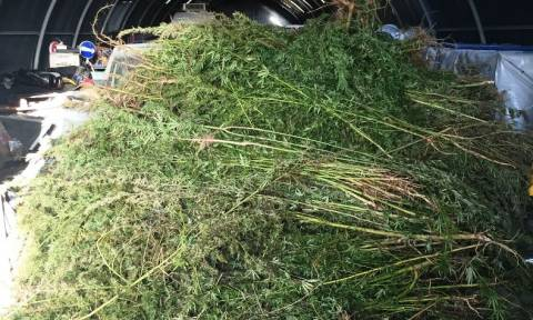 Αλεξανδρούπολη: Άντρες του λιμεναρχείου εντόπισαν φυτεία κάνναβης με 3.000 δενδρύλλια