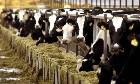 Χαλκιδική: Το πρώτο κρούσμα οζώδους δερματίτιδας των βοοειδών στην Κεντρική Μακεδονία