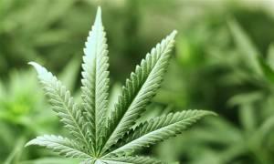 Νόμιμη η χρήση μαριχουάνας για ιατρικούς λόγους στην Κροατία