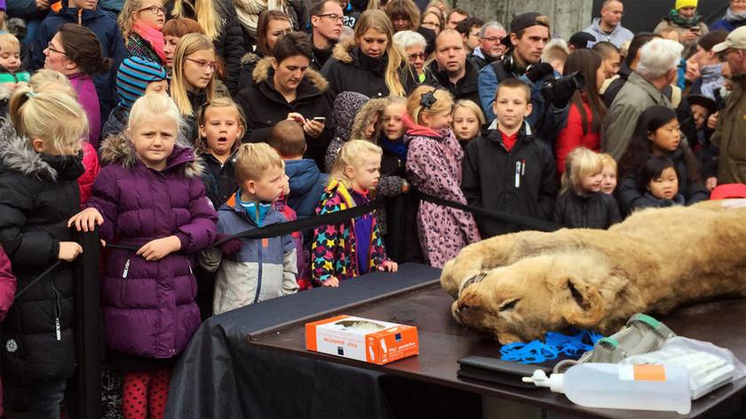 Δανία: Σάλος για το διαμελισμό λιονταριού για εκπαιδευτικούς λόγους…