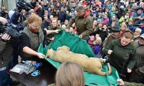 Δανία: Σάλος με το διαμελισμό λιονταριού για εκπαιδευτικούς λόγους…