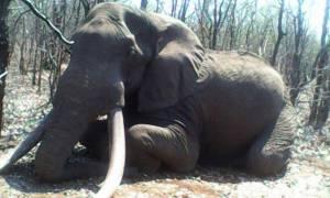 Μετά τον Σέσιλ τουρίστας σκότωσε και τον ελέφαντα «εθνικό θησαυρό» της Ζιμπάμπουε