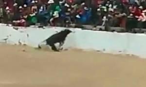 Ταύρος σκόρπισε τον τρόμο πηδώντας στην εξέδρα! (video)