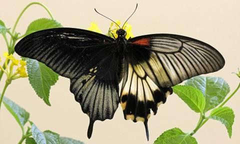 Η ερμαφρόδιτη πεταλούδα - Δείτε σπάνιες φωτογραφίες