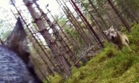 Σκληρές εικόνες: Σκύλος προστάτευσε το αφεντικό του από επίθεση λύκων! (video)