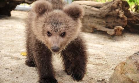 Καστοριά: Νεκρό μετά από τροχαίο μικρό αρκουδάκι