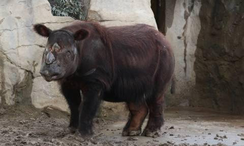 Ρινόκερος ταξιδεύει 16.000 χλμ. για να ζευγαρώσει