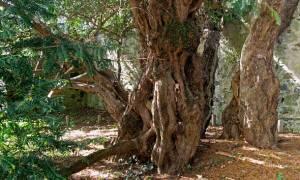 Το γηραιότερο δέντρο της Βρετανίας αλλάζει… φύλο! (videos)