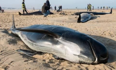 Λυπηρό! Επτά φάλαινες «ξεβράστηκαν» στις ακτές της Γαλλίας (photos&video)