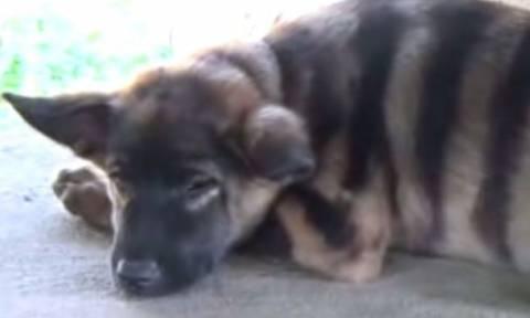 Μυστηριώδες πλάσμα: Μοιάζει με τίγρη αλλά γαβγίζει σαν σκύλος! Τι είναι; (video)
