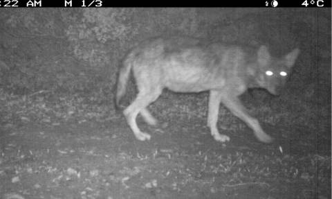 Λύκοι στην Πάρνηθα μετά από 50 χρόνια! - Δείτε τις φωτογραφίες