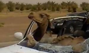 Απίστευτο τροχαίο: Καμήλα σφήνωσε στη θέση του συνοδηγού (video)