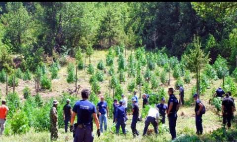 Ηλεία: Σύλληψη 51χρονου για καλλιέργεια 726  δενδρυλλίων κάνναβης