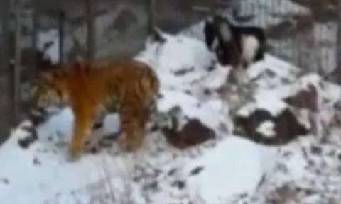 Απίστευτο: Τάισαν τίγρη με ζωντανό τράγο και έγιναν οι καλύτεροι... φίλοι! (video+photos)