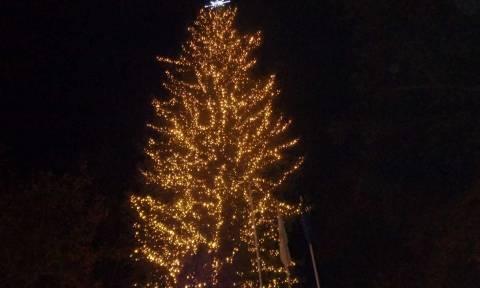 Τρίκαλα: Φωταγωγήθηκε το ψηλότερο φυσικό Χριστουγεννιάτικο δέντρο της Ελλάδας (vid)