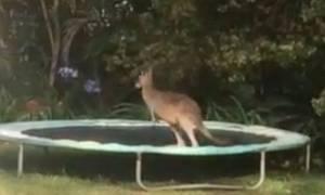 Τι συμβαίνει όταν ένα καγκουρό πηδά σε τραμπολίνο; (video)