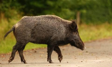 Σουηδία: Κτηνοτρόφος έδωσε χάρη σε… αγριογούρουνο που θα γινόταν μπέικον!