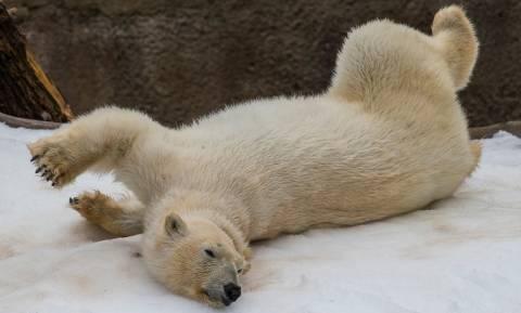 Χριστουγεννιάτικο δώρο - έκπληξη για τις πολικές αρκούδες του Σαν Ντιέγκο (Vid)