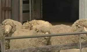 Το βίντεο που έγινε viral: Πρόβατο... υπέρβαρο λόγω μαλλιού!