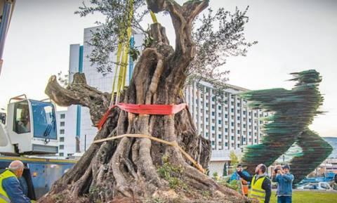 Σπάνια δέντρα μεταφυτεύονται στον Δήμο της Αθήνας!