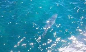 Αυστραλία: Εκκενώθηκε παραλία μετά τον εντοπισμό γιγάντιου λευκού καρχαρία