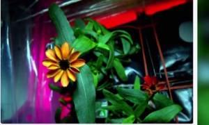 Αυτό είναι το πρώτο λουλούδι που άνθισε στο διάστημα (video)