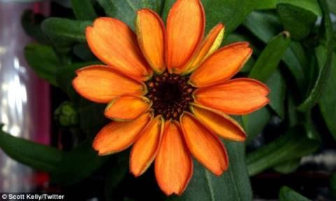 Εντυπωσιακό! Δείτε το πρώτο λουλούδι που άνθησε στο διάστημα! (photos)