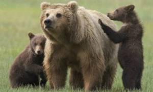 Γειτονιά υπό «ομηρία» λόγω... αρκούδων