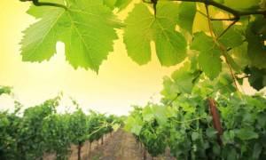 Υπόμνημα για τον ειδικό φόρο στο κρασί στον Τσακαλώτο