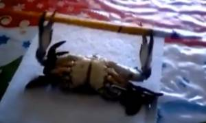 Απίστευτο βίντεο: Δείτε τον κάβουρα μπόντιμπιλντερ που σηκώνει… βάρη!