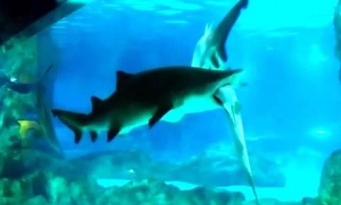 Πρωτοφανές βίντεο: Θηλυκός καρχαρίας έκανε μια χαψιά αρσενικό μέσα σε ενυδρείο! (video)