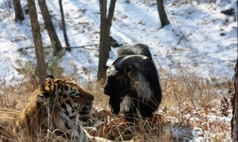 Άδοξο τέλος στη φιλία του (τίγρη) Αμούρ και του άτακτου (τράγου) Τιμούρ (video)