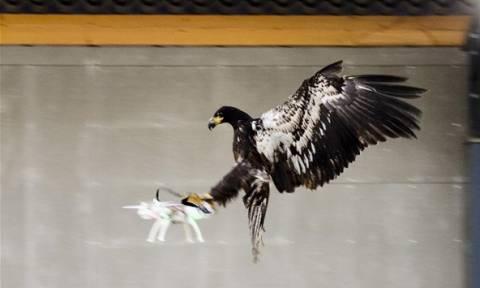 Ολλανδία: Εκπαιδευμένοι αετοί στη μάχη κατά των drones (vid)