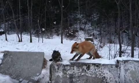 Η αλεπού ήταν πιο «γάτα» από τη γάτα! (vid)
