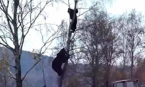 Ο απόλυτος τρόμος: Τον κυνήγησε αρκούδα επάνω στο δέντρο (vid)