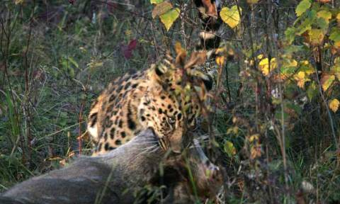 Από την παγίδα στην ελευθερία: Η συγκινητική ιστορία μίας μικρής λεοπάρδαλης (videos)