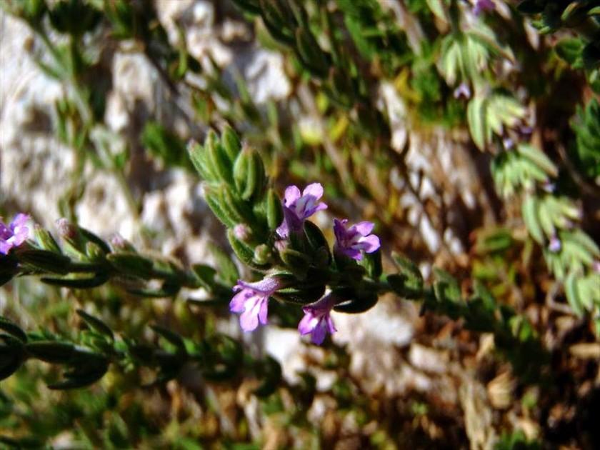 Γιατί αυτό το λουλούδι φυτρώνει μόνο στην Ακρόπολη και πουθενά αλλού στον κόσμο;