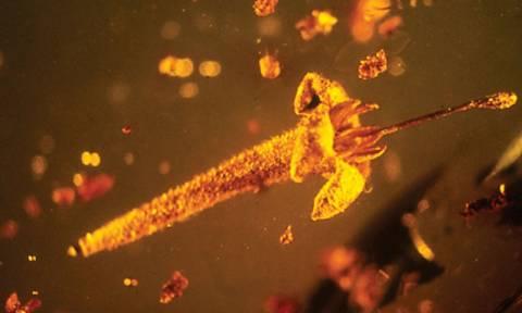 Το κεχριμπάρι έκρυβε άγνωστα δηλητηριώδη λουλούδια ηλικίας 15 εκατομμυρίων ετών (pics)